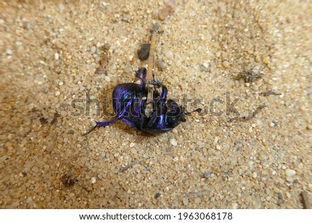 Belly of a bluish purple shimmering wood dung or dor beetle (Anoplotrupes stercorosus) on a light, granular sand underground in spring. Fascinating insect macro. Stockfoto ©