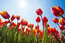 Below view of beautiful orange tulips, Netherlands
