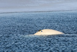 Beluga whale or White whale (Delphinapterus leucas) swimming on sea surface near the edge of ice floe. Wild sea mammal in natural habitat. Satellite tracking equipment attached on the back of animal.
