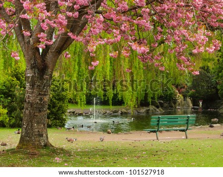 Bench at the pond shore under the cherry bloom