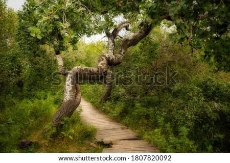 Bending and twisting trees beside a wooden boardwalk at the Crooked Trees tourism site in a sunny summer rural landscape Stockfoto ©
