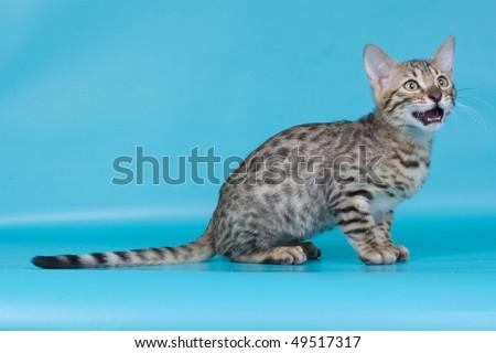 Bengal cat animal kitten pet