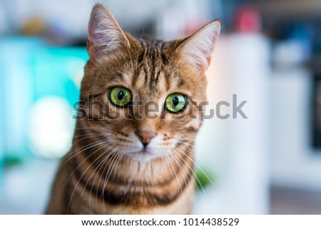 Bengal cat closeup. Gorgeous green eyes. #1014438529