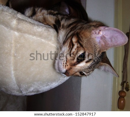 Bengal cat hanging head from basket