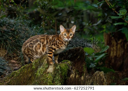 Bengal Cat Hunting outdoor, on Nature green background