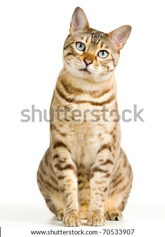Bengal cat in light brown and cream looking with pleading stare at the viewer with space for advertizing and text #70533907