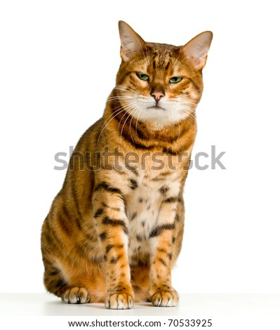 Bengal cat in orange and brown stripes like a tiger looking with angry stare at the viewer with space for advertizing and text