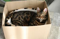 Bengal cat in the box, cat relax
