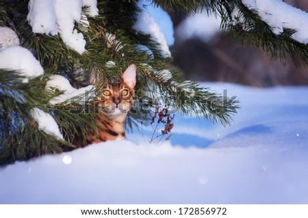 Bengal cat in the snow