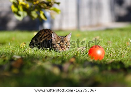 Bengal cat is walking across the lawn