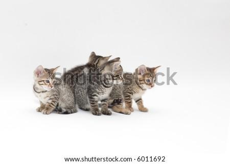 Bengal cat kitty
