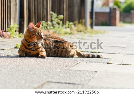 Bengal cat laying on pavement in the sun