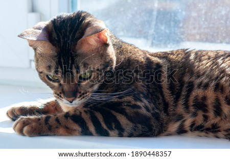 Bengal cat lies on the windowsill n a sunny day Foto stock ©