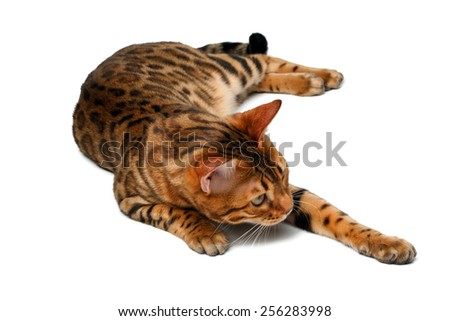 bengal cat lies on white background and raising paw