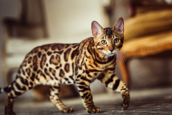 Bengal cat like a leopard sneaks