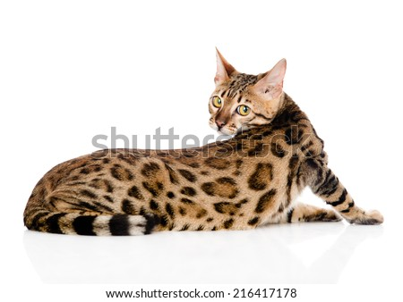 Bengal cat looks back. isolated on white background #216417178