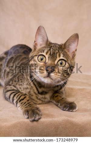 Bengal cat lying down looking at camera on tan background