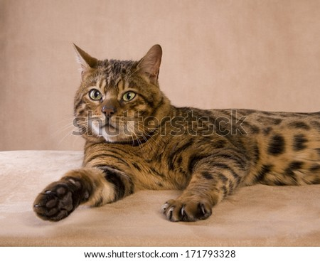 Bengal cat lying down with paw out on tan background