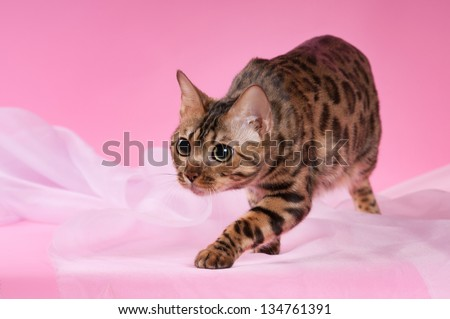 Bengal cat on a pink background