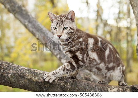 Stock Photo Bengal cat on autumn background. Seal mink marbled tabby. Domestic cat into nature. White with brown playing kitten. Cat on tree.