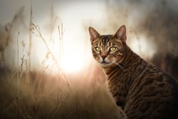 Bengal cat outdoor. Beautiful cat portrait in nature.