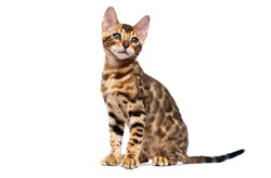 bengal cat sitting in full growth on a white background