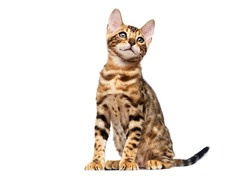 bengal cat sitting on a white background