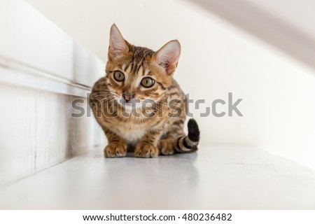 Bengal cat.Small playful Bengal cat lying on the steps waiting for the game. #480236482