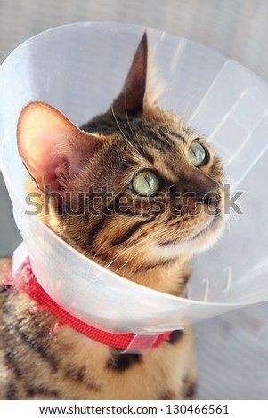Bengal cat with funnel