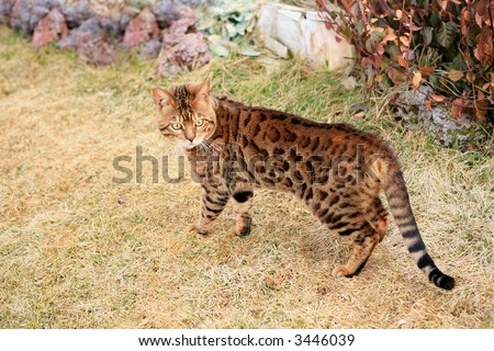 Bengal cat with gold eyes standing in golden grass