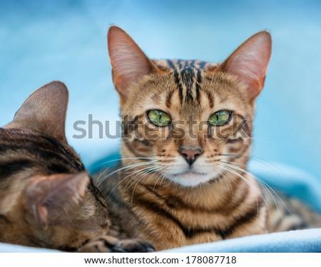 Bengal Cats relaxing