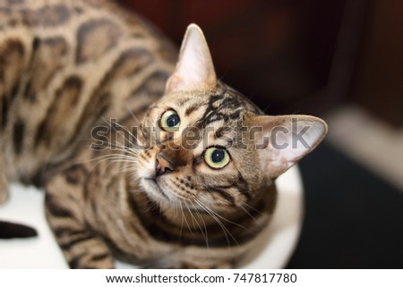 bengal domestic cat