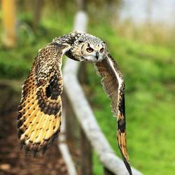 Bengal Eagle Owl in flight