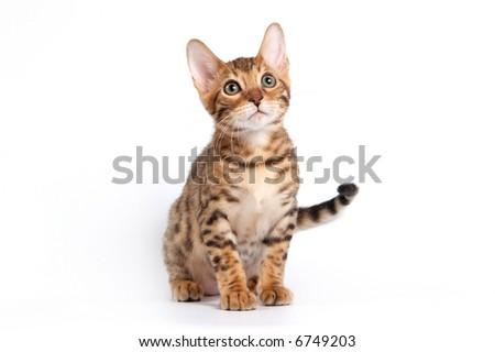 Bengal kitten - stock photo