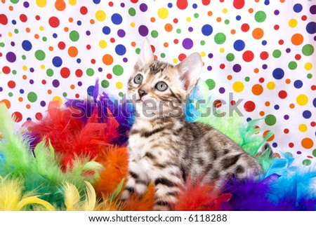 Bengal kitten in rainbow colored feathers on rainbow polka dot colored background.