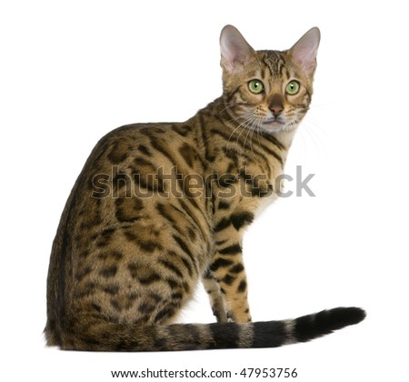 Bengal kitten (7 months old) in front of a white background