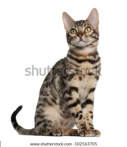 Bengal kitten, 4 months old, sitting in front of white background