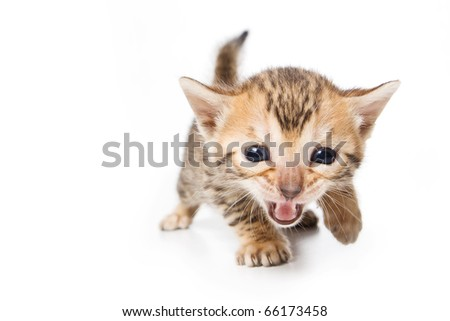 Bengal kitten on white background - stock photo