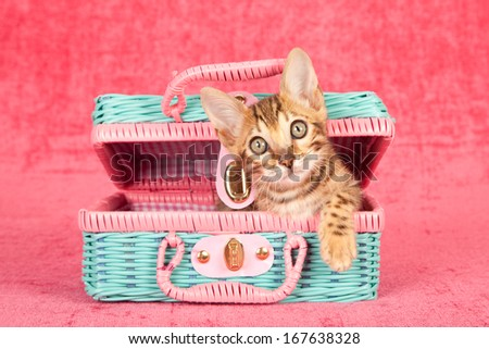 Bengal kitten sitting inside pink and blue toy wicker basket against cerise pink background