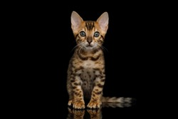 Bengal Kitten sitting on isolated Black Background and looking at camera