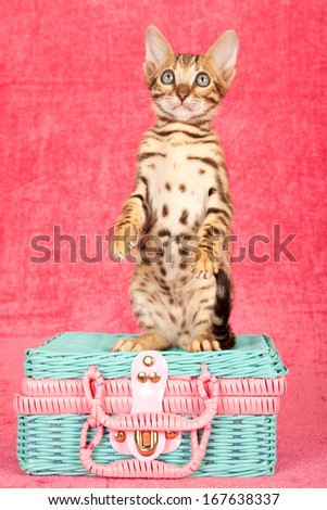 Bengal kitten sitting upright on pink and blue toy wicker basket against cerise pink background