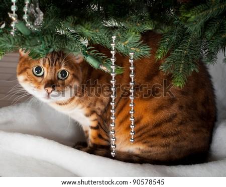 Bengal kitten sleeping under an xmas tree