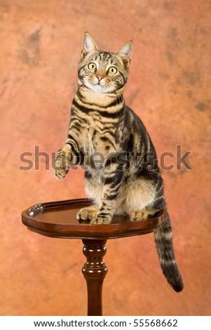 Bengal lookalike kitten on wooden table