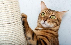 Bengal shorthair cat with a scratching post. The cat is scratching her nails. Pet care