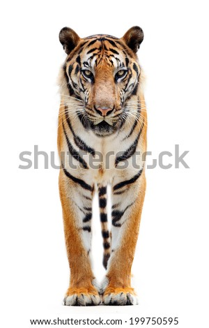 bengal tiger #199750595
