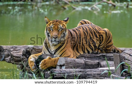 Bengal Tiger by the canal