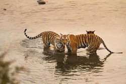Bengal Tiger Cubs at Corbett National Park