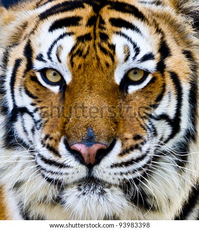 Bengal tiger face with eyes looking at the nature of the beast.