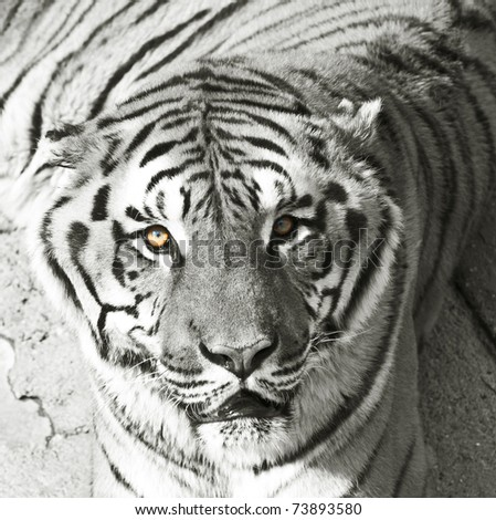 Bengal tiger in black and white