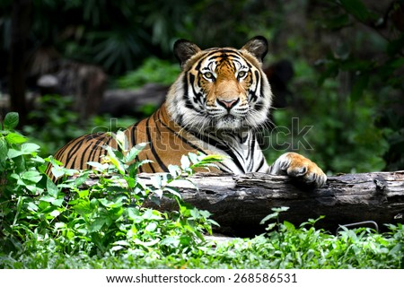 stock photo bengal tiger in forest show head and leg 268586531 - Каталог — Фотообои «Животные»